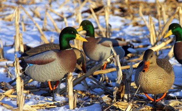 Prairiewind Decoys Free Shipping Mallard Full Body