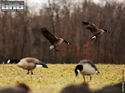 Picture for category Canada Decoys - **SALE**