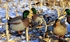 Picture of  **FREE SHIPPING** Mallard Full Body Duck Decoys 6pk (DAK20040) by Dakota Decoys