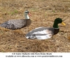 Picture of **SALE** Sillosocks 3-D Sentry Mallard Windsock  Decoys (SS1449) by Sillosock Decoys