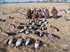 Picture of **FREE SHIPPING** Sillosocks Canada Goose Decoys Harvester 12pk (8 Feeder, 4 Sentry)  by Sillosock Decoys