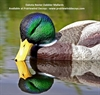 Picture of **SALE**  Mallard Rester Dabbler Duck Decoys 6pk (DAK12130) by Dakota Decoys