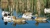 Picture of X-treme Pintail Floater Duck Decoys 6pk  (DAK13700) by Dakota Decoys