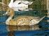 Picture of X-treme Pintail Floater Duck Decoys 6pk  (DAK13700) by Dakota Decoys