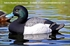 Picture of **FREE SHIPPING**  Bluebill Duck Decoys 6pk  (DAK21000) by Dakota Decoys