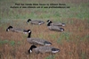Picture of FlockSox Canada Goose  Decoys by Sillosock Decoys