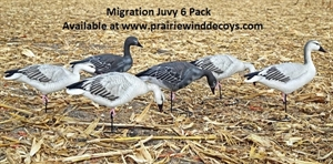Picture of ** SPRING SALE** Juvie Migration 6pk Snow Goose Full Body Decoys (DAK12060) by Dakota Decoys