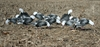 Picture of **FREE SHIPPING** Econo Blue Goose Silhouette Decoys (5 dz) by Real Geese Decoys
