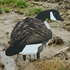 Picture of X-14 Active Pack Canada Goose Silhouette Decoys (14pack) by Big Al's Decoys