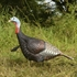 Picture of **FREE SHIPPING** Jake Turkey Decoy - Eastern by Greenhead Gear GHG