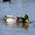 Picture of **FREE SHIPPING** XS SWIMMER DECOYS 12V by Higdon Decoys