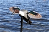 Picture of **FREE SHIPPING**  ELITE SERIES PINTAIL BY MOJO OUTDOORS