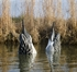 Picture of **SALE** MAGNUM DUCK BUTT PINTAIL Duck Decoys - DRAKES 2pk  (Foam Filled) by Higdon Decoys