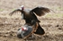 "Picture of ""FREE SHIPPING"" Jekyll and Hyde Tom Turkey Decoy - Rio Grande by Greenhead Gear GHG"